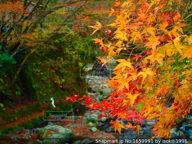 川の上からかぶさる紅葉の写真・画像素材[1659991]