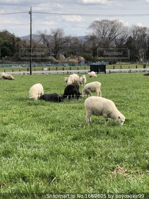 めうめう羊の写真・画像素材[1669805]