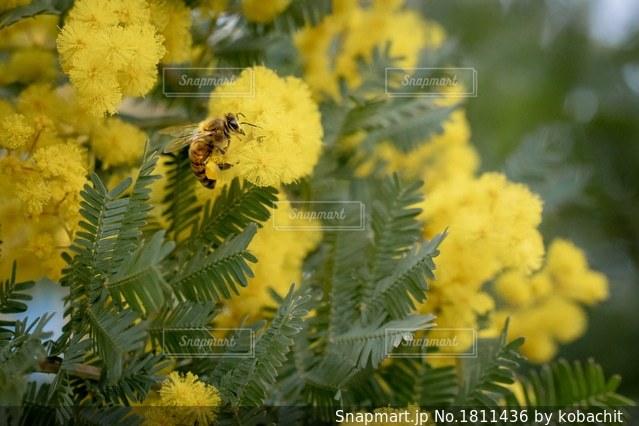 ミモザとミツバチの写真・画像素材[1811436]