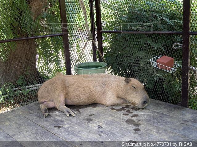 沖縄の東南植物楽園のカピバラ牧場で気持ち良さそうに昼寝をしているカピバラさんの写真・画像素材[4770701]