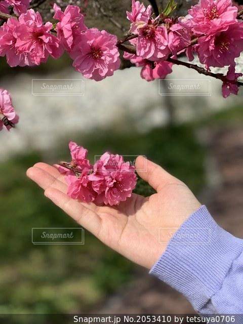 花桃に添える手の写真・画像素材[2053410]