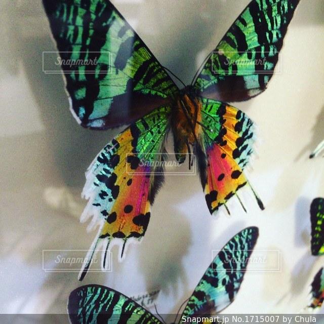 カラフルな蝶の写真・画像素材[1715007]