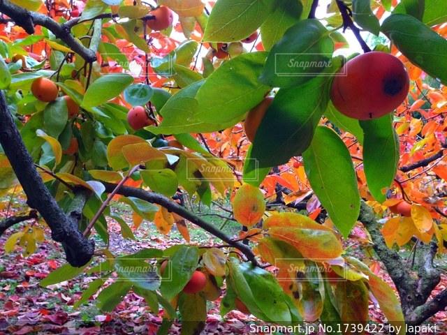 秋の味覚!柿の実♪の写真・画像素材[1739422]