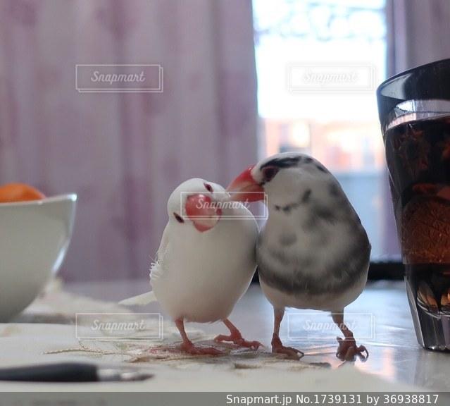 仲良し文鳥の写真・画像素材[1739131]