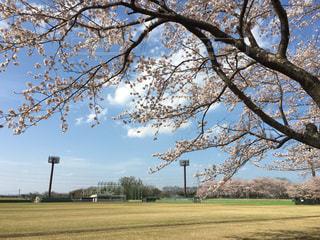 自然,空,桜,青空,樹木,草木