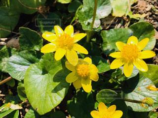 自然,花,植物,かわいい,黄色,鮮やか,庭園,可愛い,イエロー,はな,カラー,色,黄,3月,きいろ,ピカピカ,yellow,静岡県,散策,リュウキンカ,立金花,龍尾神社,花庭園