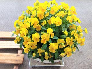 自然,花,春,木,屋外,植物,かわいい,黄色,ベランダ,鮮やか,元気,可愛い,イエロー,パンジー,ナチュラル,はな,カラー,色,黄,きいろ,ビオラ,鉢,ぎっしり,yellow,4月,すのこ,多彩,ギッシリ,密