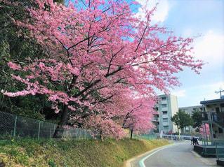 自然,風景,建物,花,春,桜,屋外,ピンク,青空,散歩,道路,田舎,花見,景色,お花見,道,静岡,ライフスタイル,複数,散策,掛川