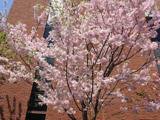 自然,建物,花,春,桜,屋外,ピンク,散歩,花見,レンガ,お花見,ライフスタイル,通り抜け,造幣局,散策