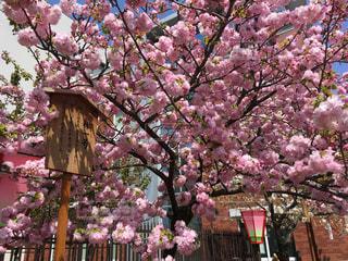 自然,花,春,桜,屋外,大阪,ピンク,花見,お花見,ライフスタイル,灯籠,通り抜け,造幣局,林一号