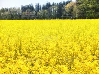 自然,空,花,屋外,緑,植物,黄色,菜の花,鮮やか,観光,イエロー,菜の花畑,カラー,色,黄,多彩