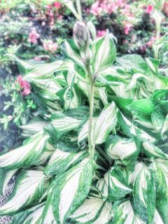 自然,風景,花,雨,屋外,ピンク,植物,水滴,葉,景色,雫,梅雨,白色,しずく,景観,雨の日,緑色,玄関口