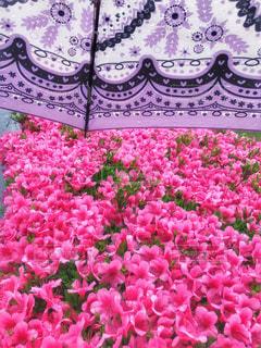 自然,風景,花,雨,傘,屋外,ピンク,植物,紫,水滴,景色,パープル,旅行,雫,ツツジ,模様,景観,紫色,草木,雨の日