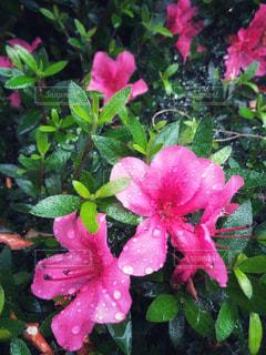 自然,花,雨,屋外,ピンク,緑,植物,水滴,景色,蜘蛛の巣,雫,ツツジ,景観,草木,雨の日,緑色,つつじ