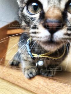 カメラを見ている猫のクローズアップの写真・画像素材[2311396]