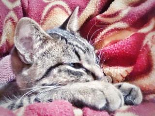 女性,猫,動物,屋内,かわいい,景色,ペット,寝る,子猫,人物,人,布団,毛布,パジャマ,キティ,ネコ,ネコ科の動物