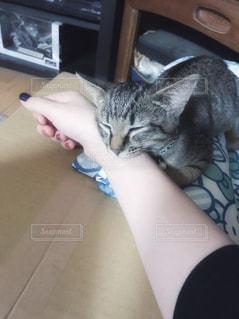 女性,猫,動物,ネイル,屋内,かわいい,手,景色,腕,指,ペット,寝る,子猫,人物,人,キティ,ネコ