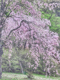 桜の写真・画像素材[3033486]