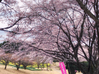 自然,風景,空,公園,花,春,森林,屋外,ピンク,黄色,花見,景色,樹木,水仙,草木,桜の花,さくら,ブロッサム