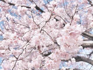自然,風景,花,春,桜,木,屋外,ピンク,枝,花見,景色,樹木,お花見,イベント,草木,桜の花,さくら,ブロッサム