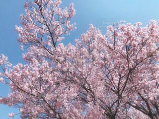 自然,風景,空,花,春,桜,木,屋外,ピンク,花見,景色,樹木,お花見,イベント,草木,桜の花,さくら,ブロッサム