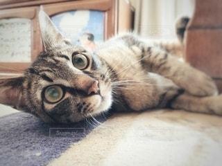 横になってカメラを見ている猫の写真・画像素材[3361941]