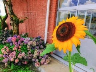 向日葵と紫陽花の写真・画像素材[3509245]