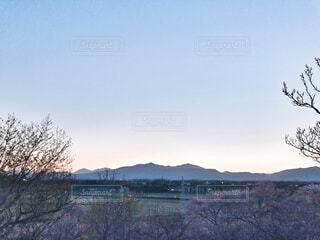 桜と夕暮れのコラボの写真・画像素材[4316825]