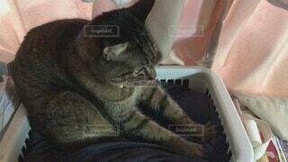 猫,動物,屋内,景色,子猫,可愛い,キャット,ネコ科,ふみふみ,フミフミ