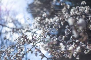 春と桜の写真・画像素材[1875201]