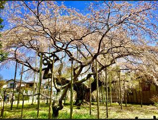 惚れ惚れ 枝垂れ桜のお姿の写真・画像素材[1872707]