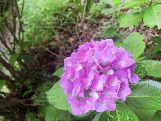 花,雨,綺麗,フラワー,お花,紫陽花,梅雨,6月,アジサイ