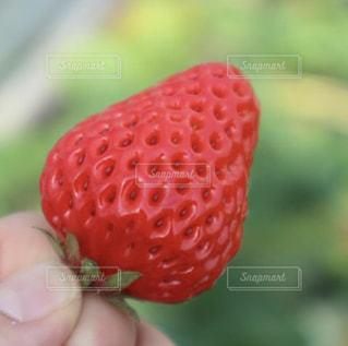 いちご,果物,いちご狩り,新鮮,真っ赤,フレッシュ,イチゴ,章姫,房州