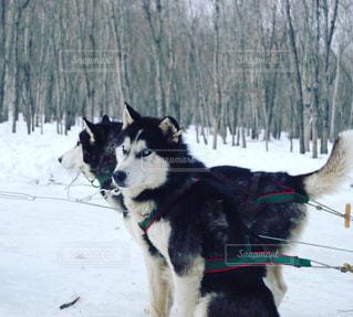 犬ぞりのハスキーたちの写真・画像素材[1744943]
