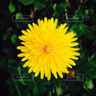 花,カメラ,植物,綺麗,黄色,写真,たんぽぽ,iphone,地面,イエロー,色彩,草木,yellow,タンポポ,iPhone写真