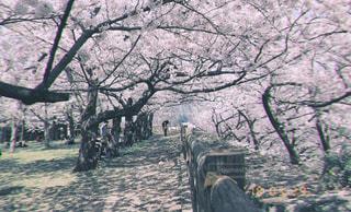 自然,春,桜,ピンク,かわいい,花見,桜並木,お花見,道,可愛い,さくら,そら