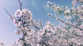 自然,空,春,桜,ピンク,かわいい,花見,お花見,可愛い,さくら,そら