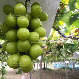 食べ物,フルーツ,果物,果実,甘い,ブドウ,葡萄,グリーン,ぶどう狩り,フレッシュ,シャインマスカット,ぶどう
