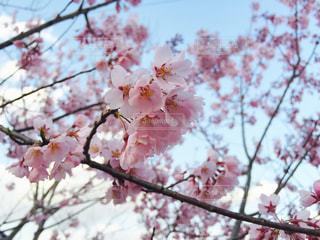 自然,春,桜
