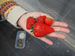 食べ物,赤,いちご,フルーツ,果物,いちご狩り,お出かけ