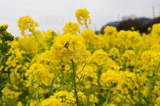 花,フラワー,黄色,菜の花,お花,鮮やか,イエロー,菜花,なばな