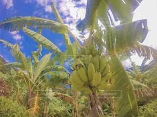 食べ物,自然,緑,黄色,フルーツ,果物,果実,食材,野生,バナナ,加計呂麻,島バナナ