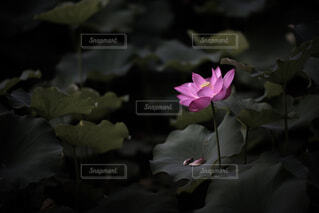 花,夏,屋外,ピンク,緑,暗い,花びら,蓮,朝,flower,summer,Green,nature,pink,草木,Lotus,フローラ