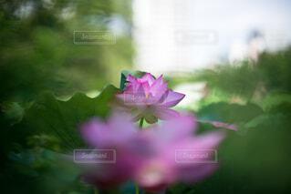 自然,花,夏,ピンク,緑,蓮,朝,flower,summer,Green,nature,pink,草木,Lotus