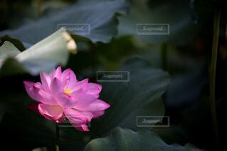 花,屋内,屋外,緑,花びら,蓮,朝,flower,summer,Green,nature,ロータス,pink,草木,Lotus