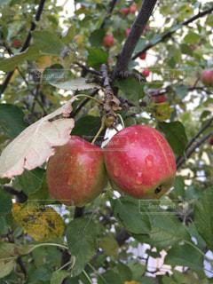 食べ物,赤,フルーツ,果物,りんご,果実,青森,実り,姫りんご