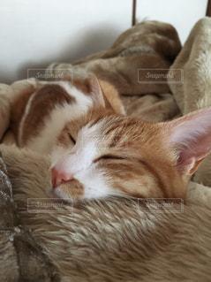 猫,かわいい,茶色,ベージュ,ミルクティー,lily,ミルクティー色