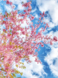 自然,空,花,春,桜,屋外,ピンク,花見,樹木,お花見,ライフスタイル,草木,ブロッサム