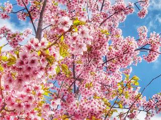 自然,花,春,桜,屋外,ピンク,花見,お花見,ライフスタイル,草木,さくら,ブロッサム