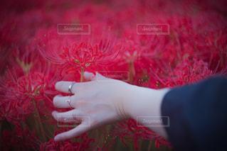 赤と白のシャツを持っている手の写真・画像素材[1131381]